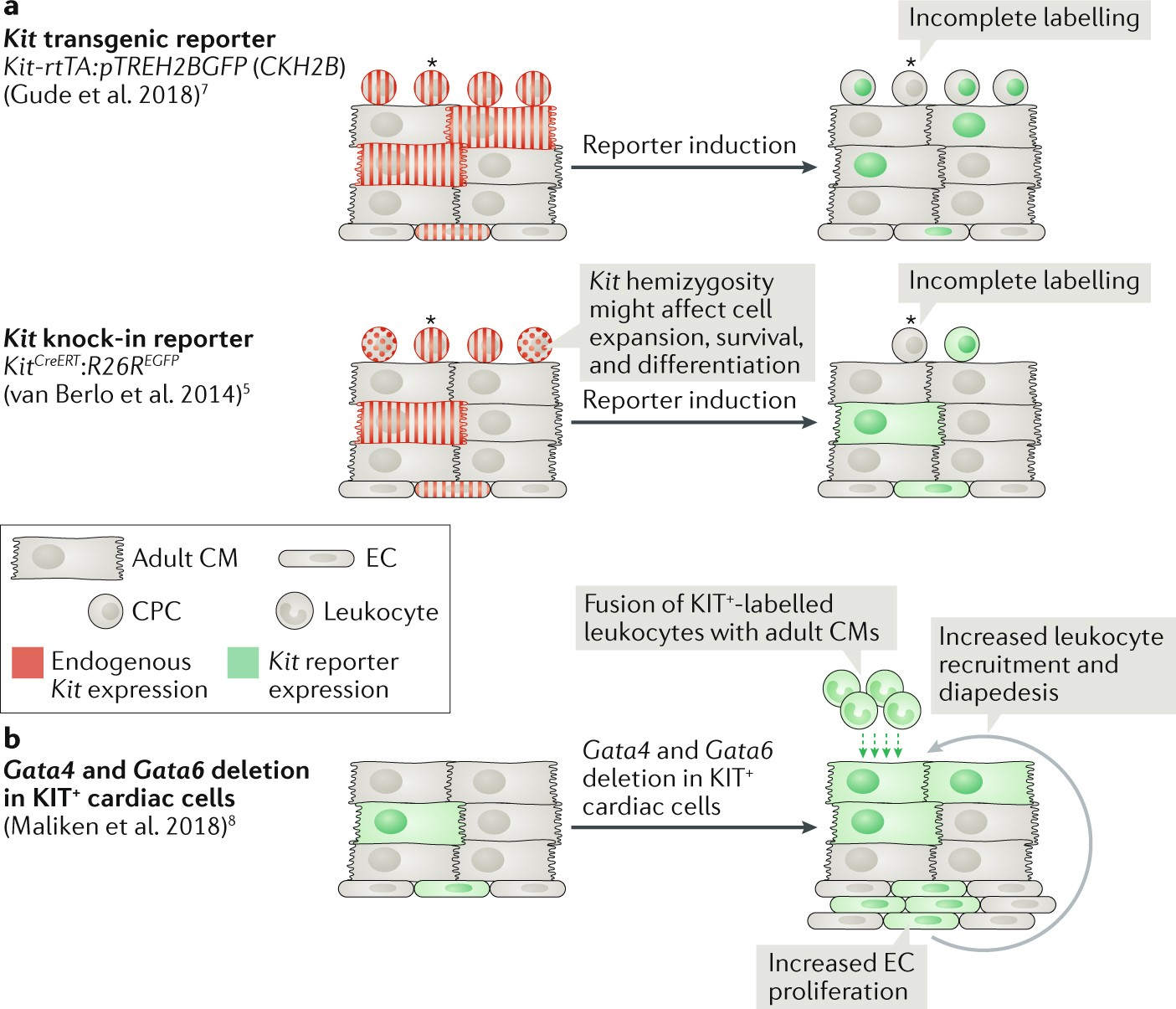 The Complex Biology Of Kit Cells In The Heart Nature Reviews