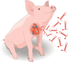 MicroRNA-directed cardiac repair after myocardial infarction in pigs