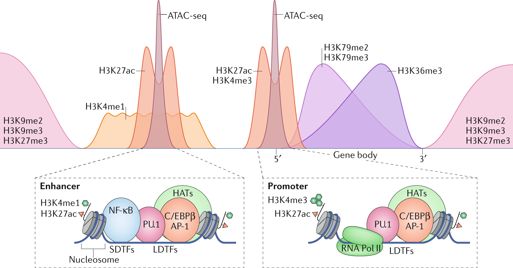 Transcriptional and epigenetic regulation of macrophages in atheroscle