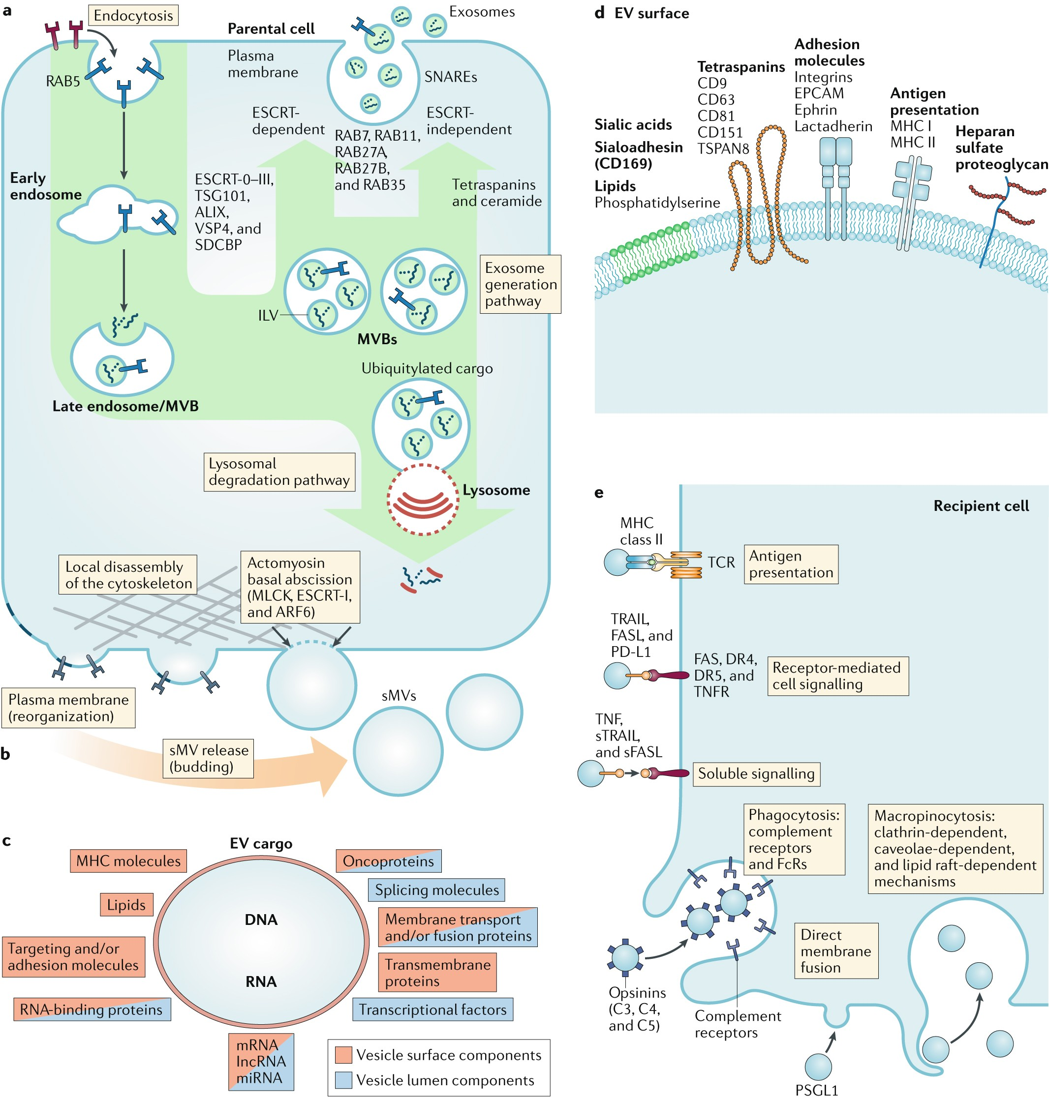 Extracellular vesicles in cancer — implications for future improvements in  cancer care | Nature Reviews Clinical Oncology