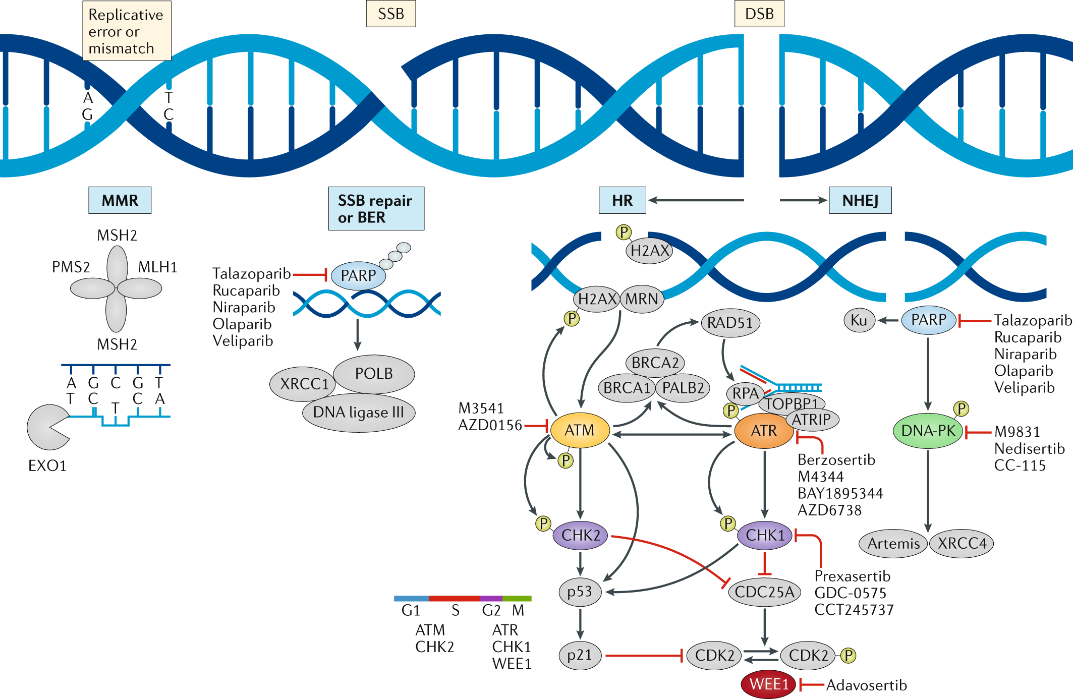 State-of-the-art strategies for targeting the DNA damage response in c