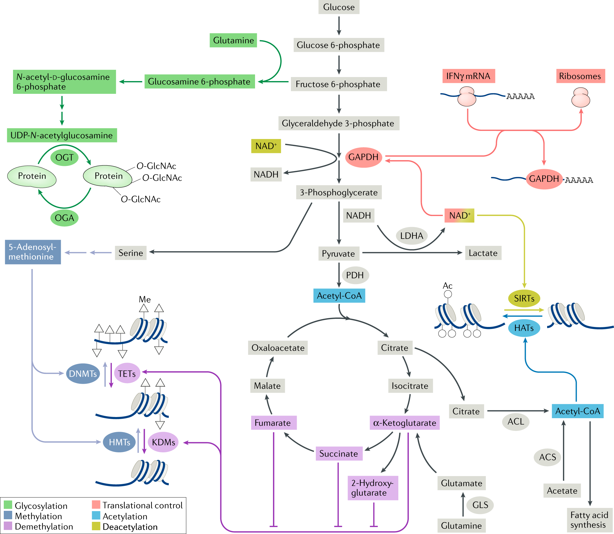 Targeting metabolism to regulate immune responses in autoimmunity and