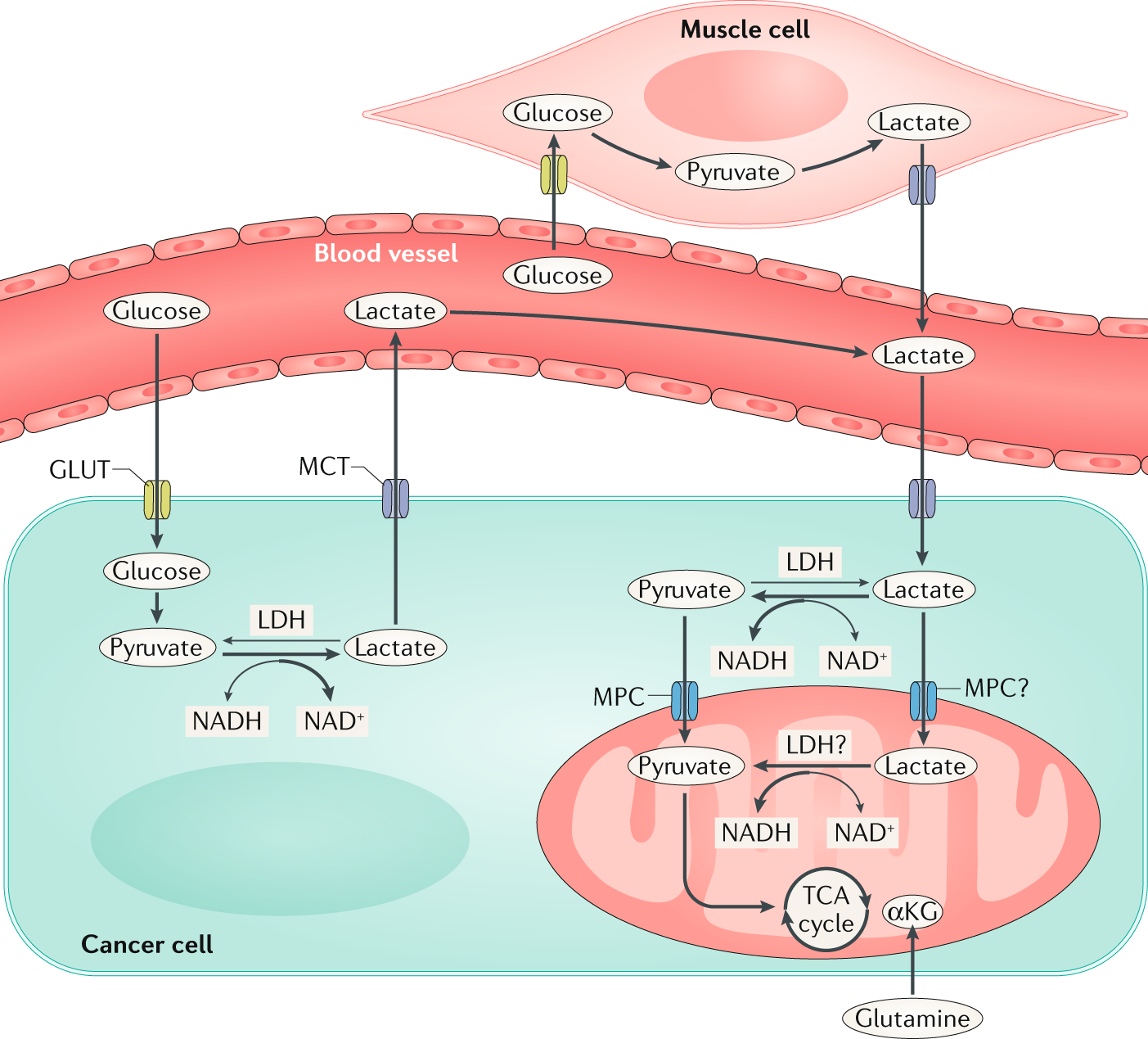 Fuelling cancer cells