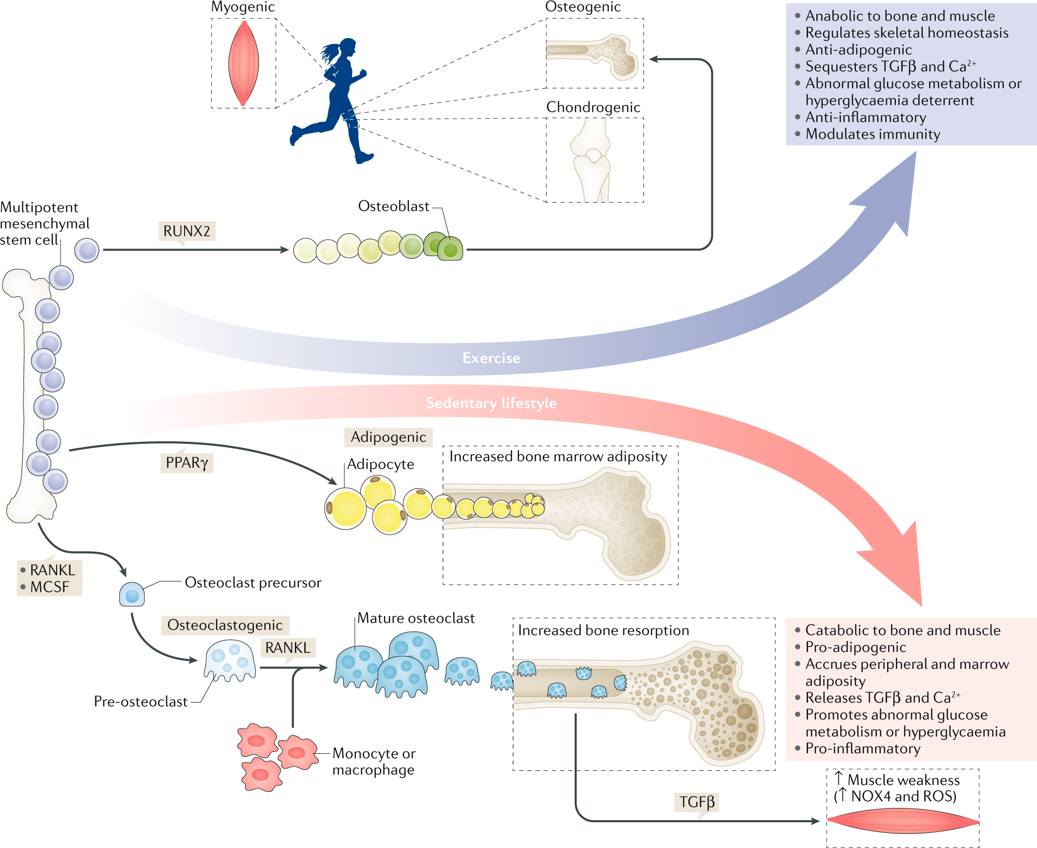 Combating osteoporosis and obesity with exercise: leveraging