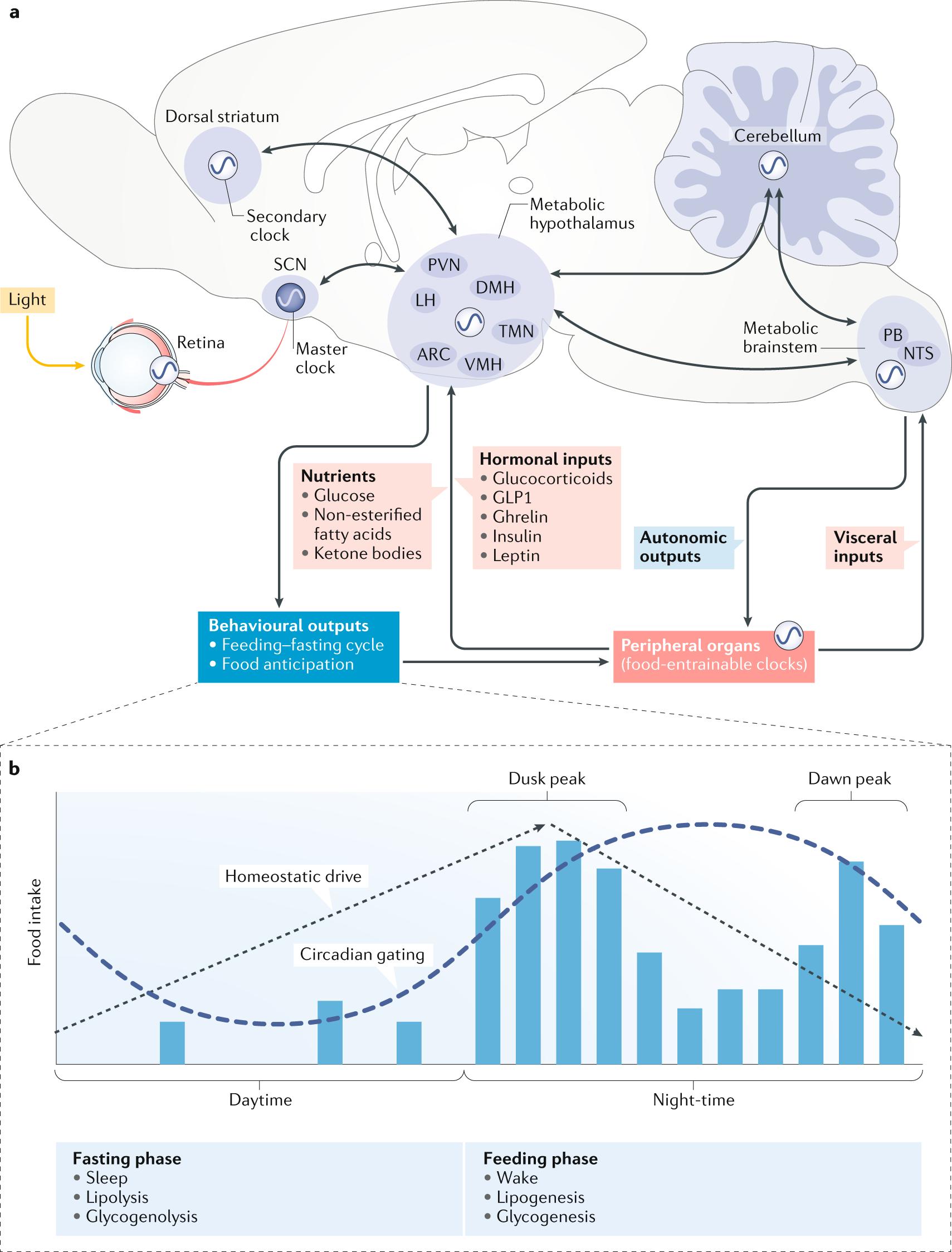 The circadian regulation of food intake | Nature Reviews