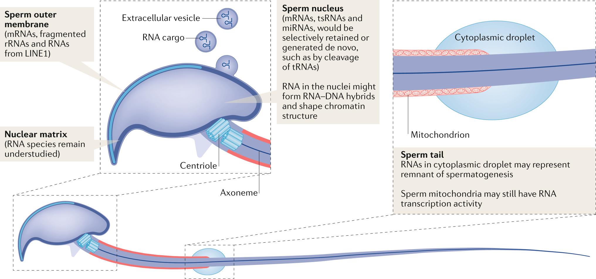 Sperm RNA code programmes the metabolic health of offspring