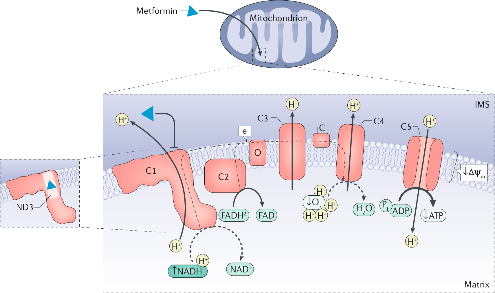 Understanding the glucoregulatory mechanisms of metformin in type 2 di