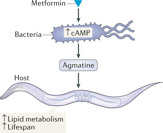 Bacteria transmit metformin-associated lifespan extension