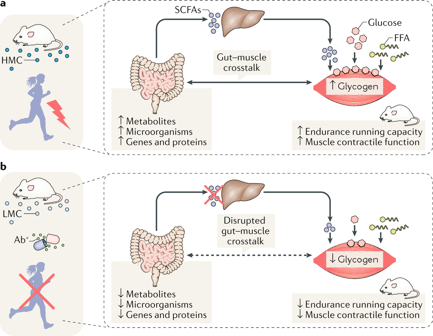 Microbiota and muscle highway — two way traffic