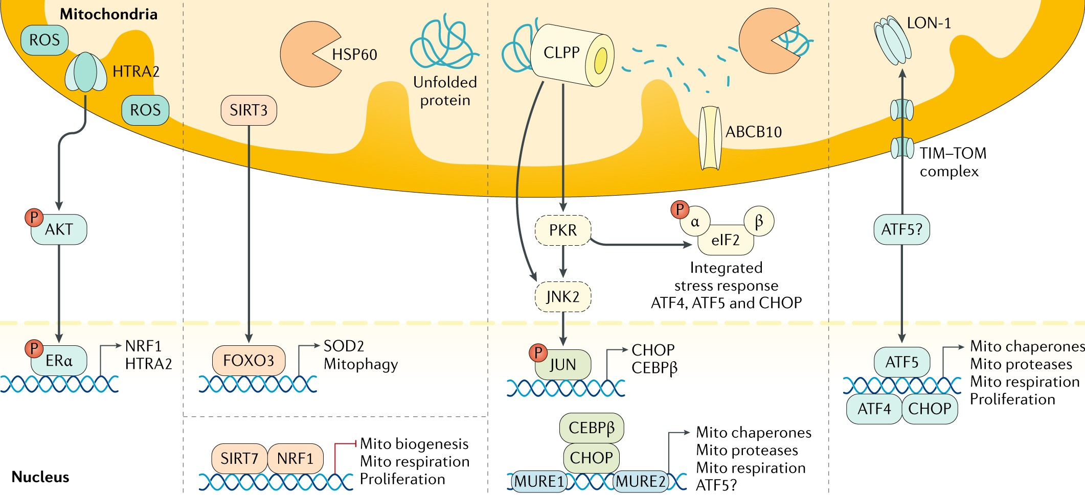 Mitochondrial Function Gatekeeper Of Intestinal Epithelial Cell Accessories Fm Gain Signal 180 Homeostasis Nature Reviews Gastroenterology Hepatology