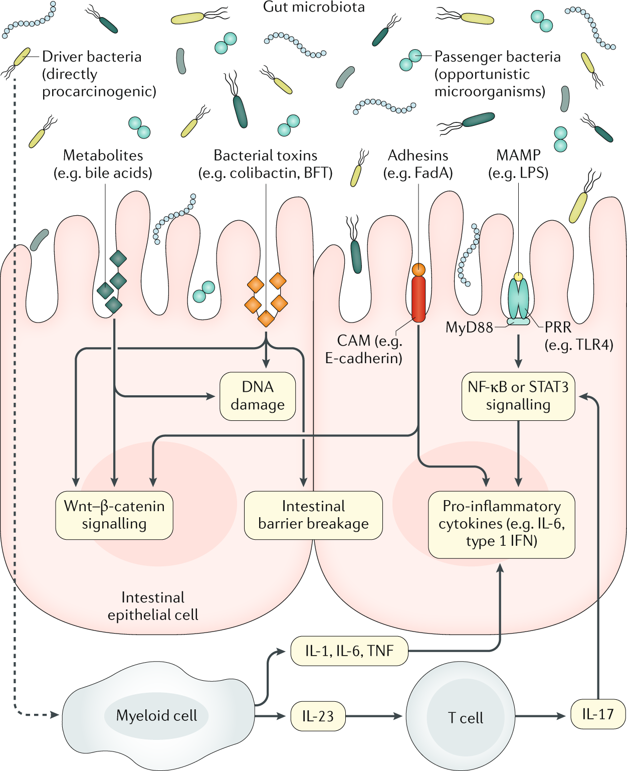 Gut microbiota in colorectal cancer: mechanisms of action and clinical