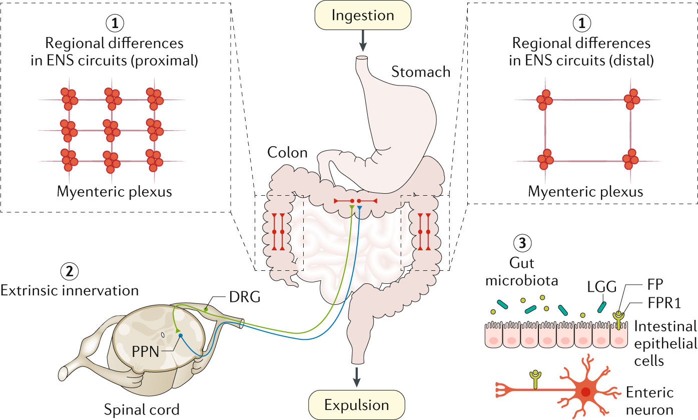 An increasingly complex view of intestinal motility