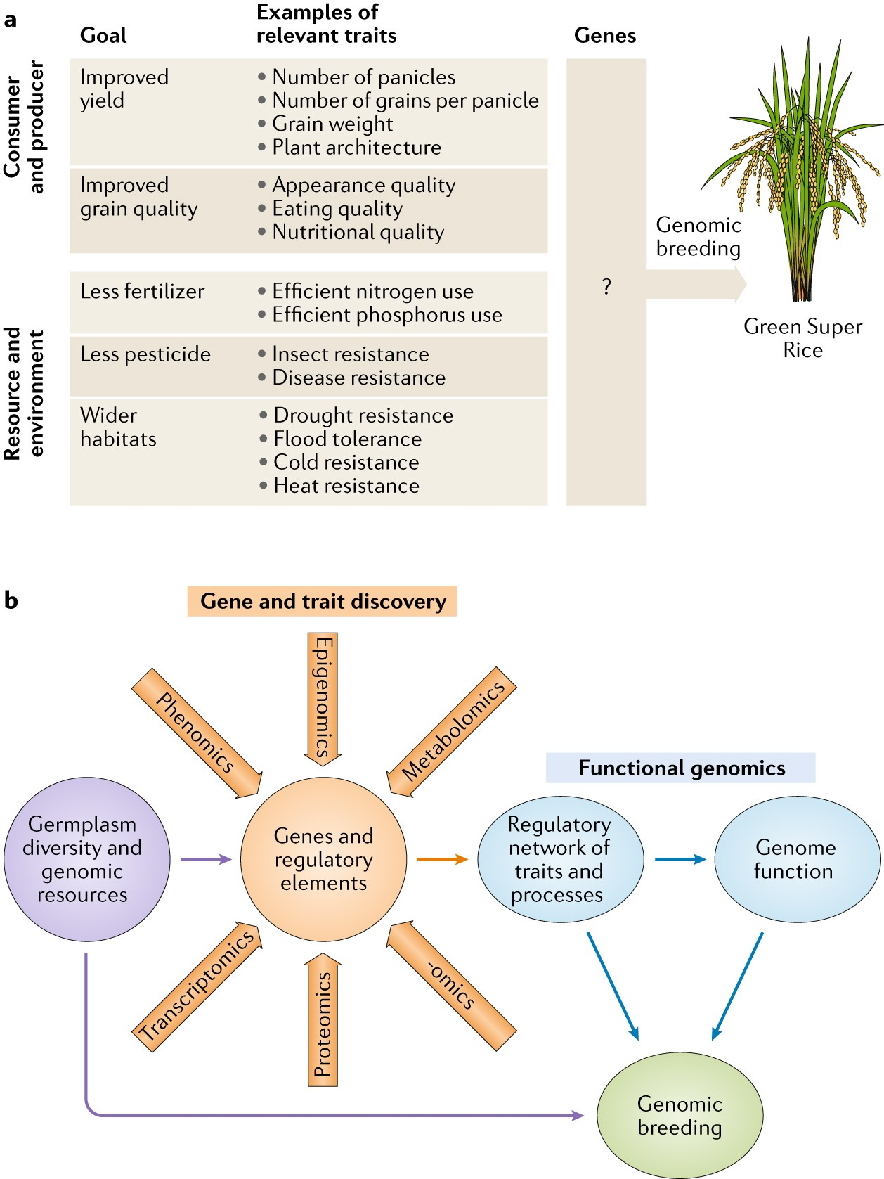 the rice genome The rice genome is well mapped and well characterized, and it is the smallest of the major cereal crop genomes at an estimated 400 to 430 mb.