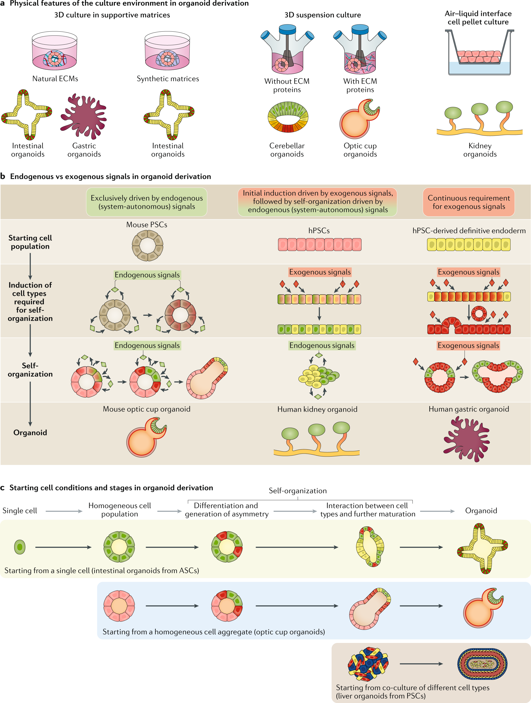 Progress and potential in organoid research   Nature Reviews