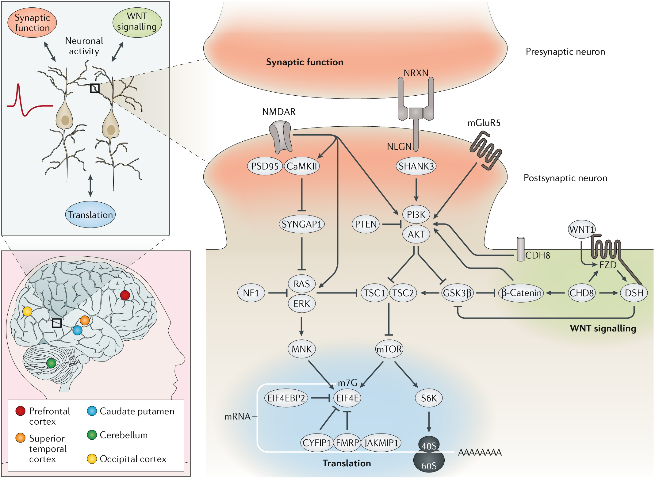 Autism spectrum disorder: insights into convergent mechanisms from tra