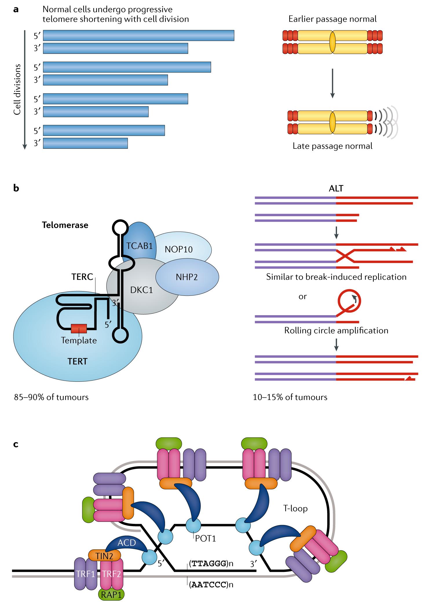 Telomeres and telomerase: three decades of progress | Nature