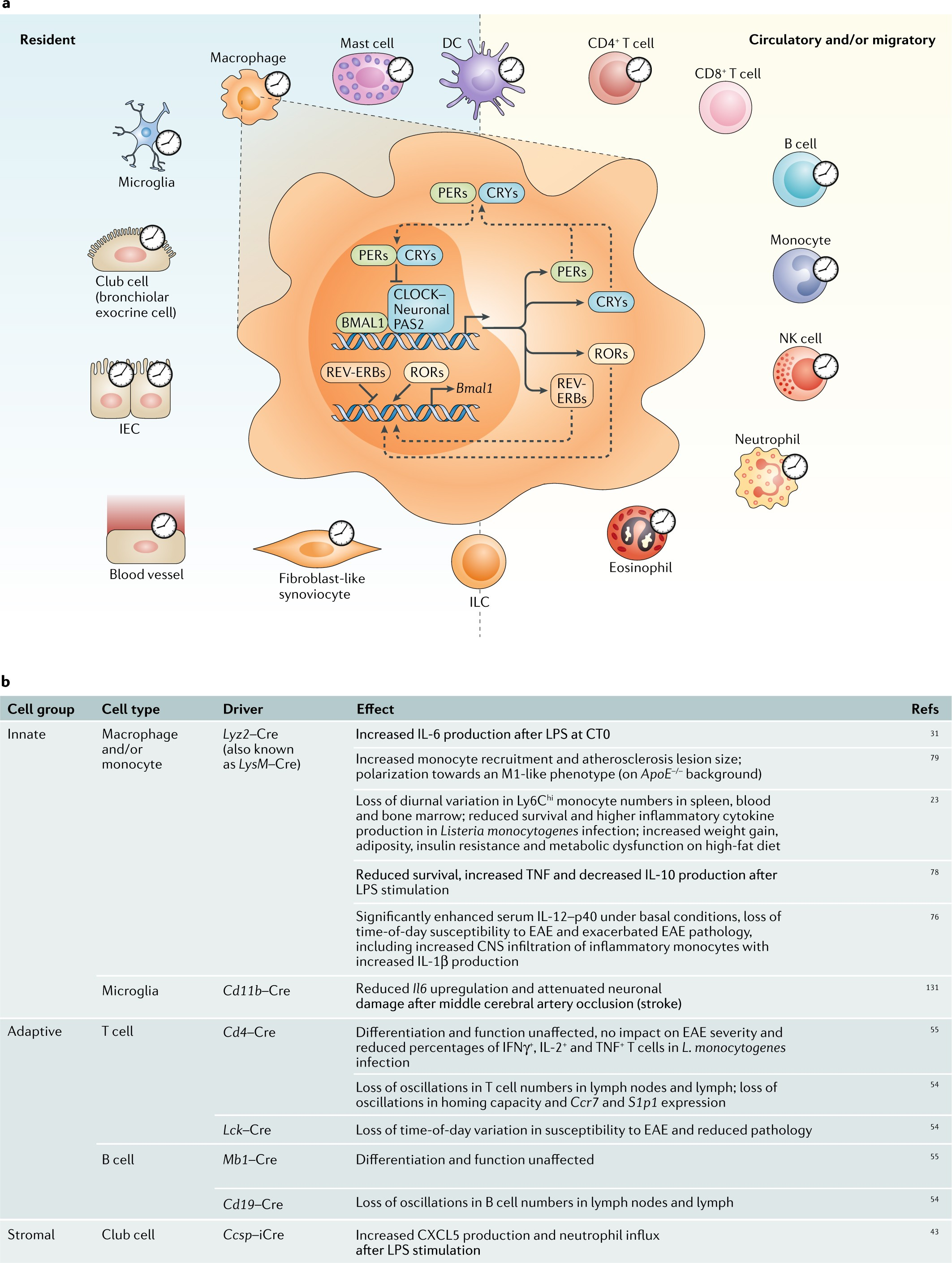 Clocking In To Immunity Nature Reviews Immunology Curtis 1510 Controller Wiring Diagram