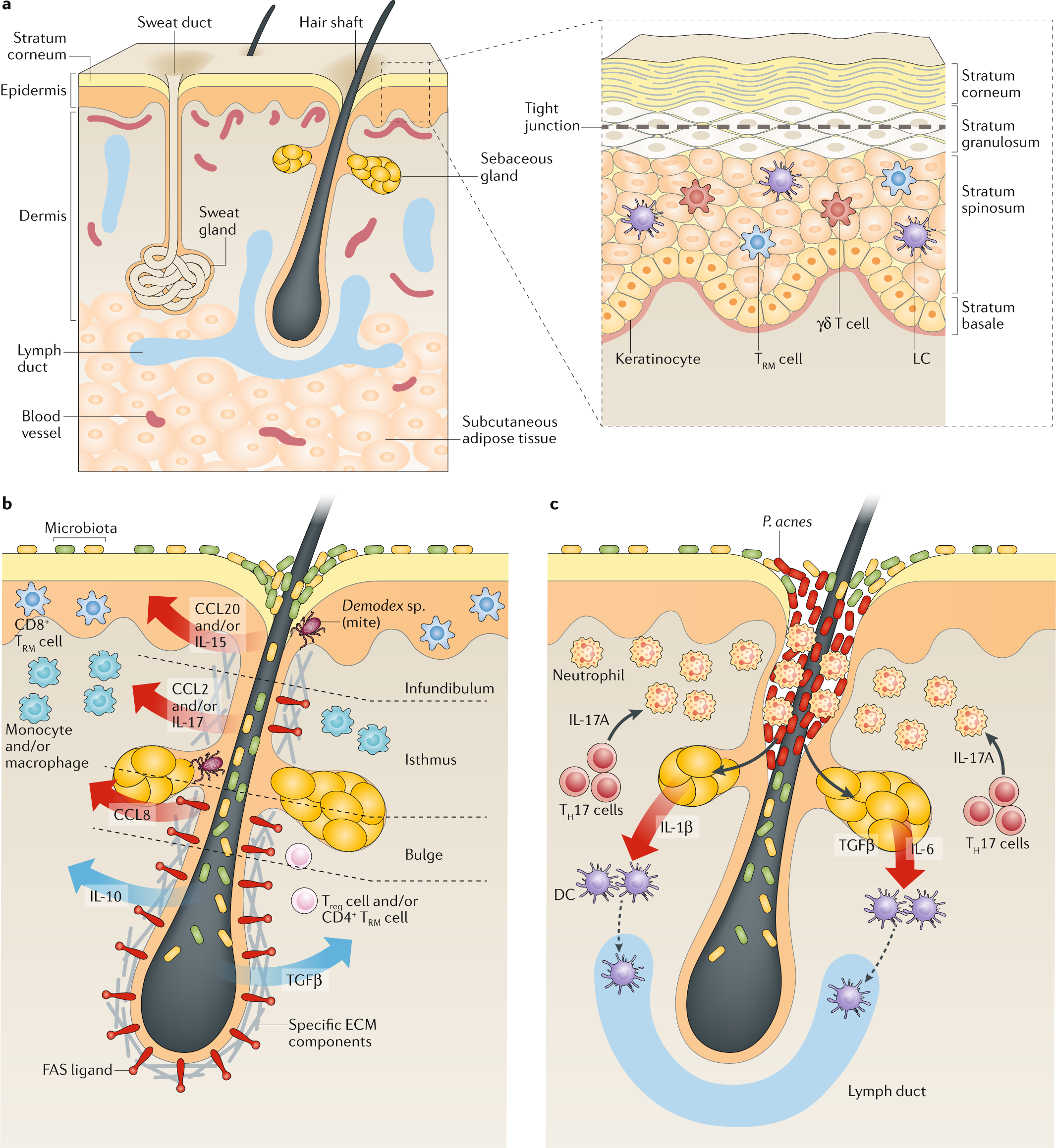 Immune System May Play Crucial Role In >> The Immunological Anatomy Of The Skin Nature Reviews