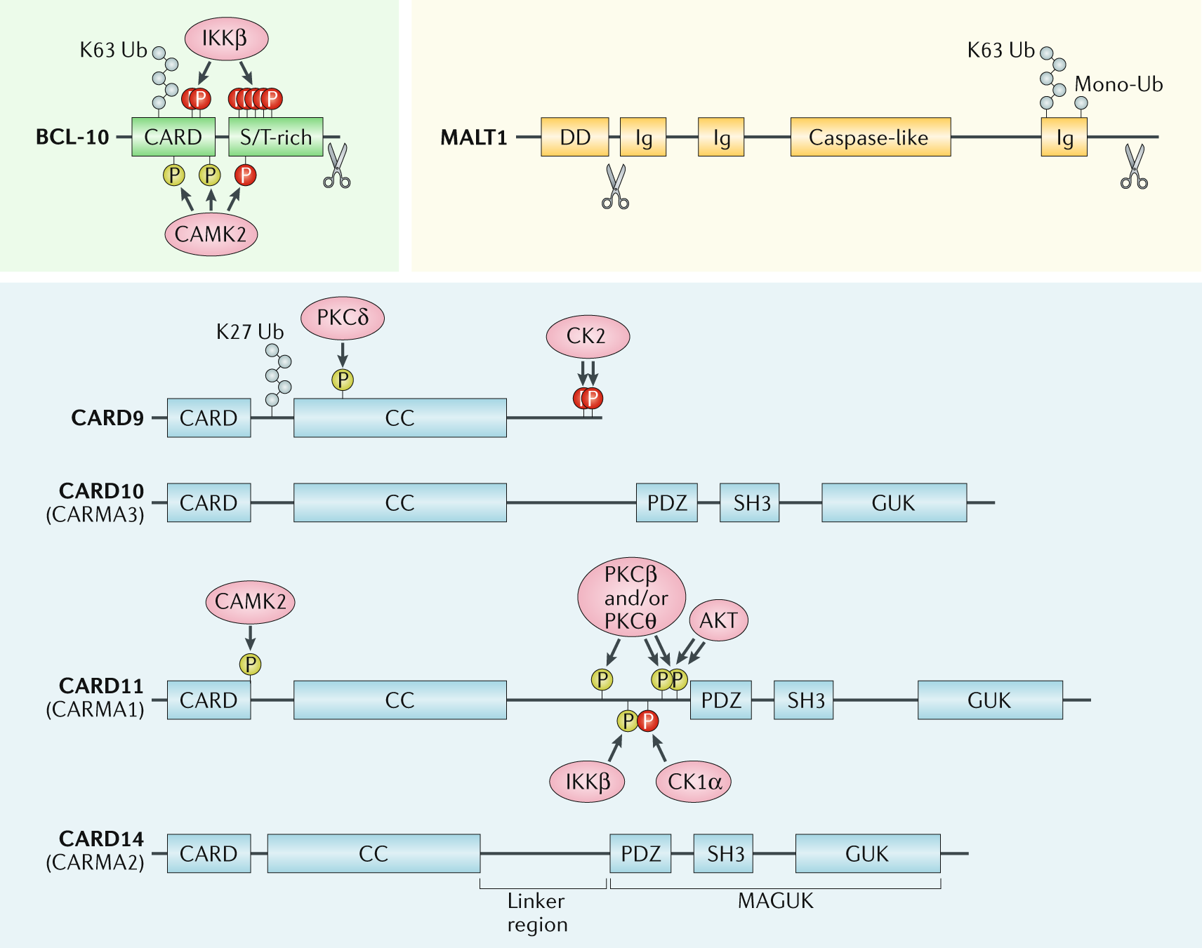 CARD–BCL-10–MALT1 signalling in protective and pathological immunity |  Nature Reviews Immunology