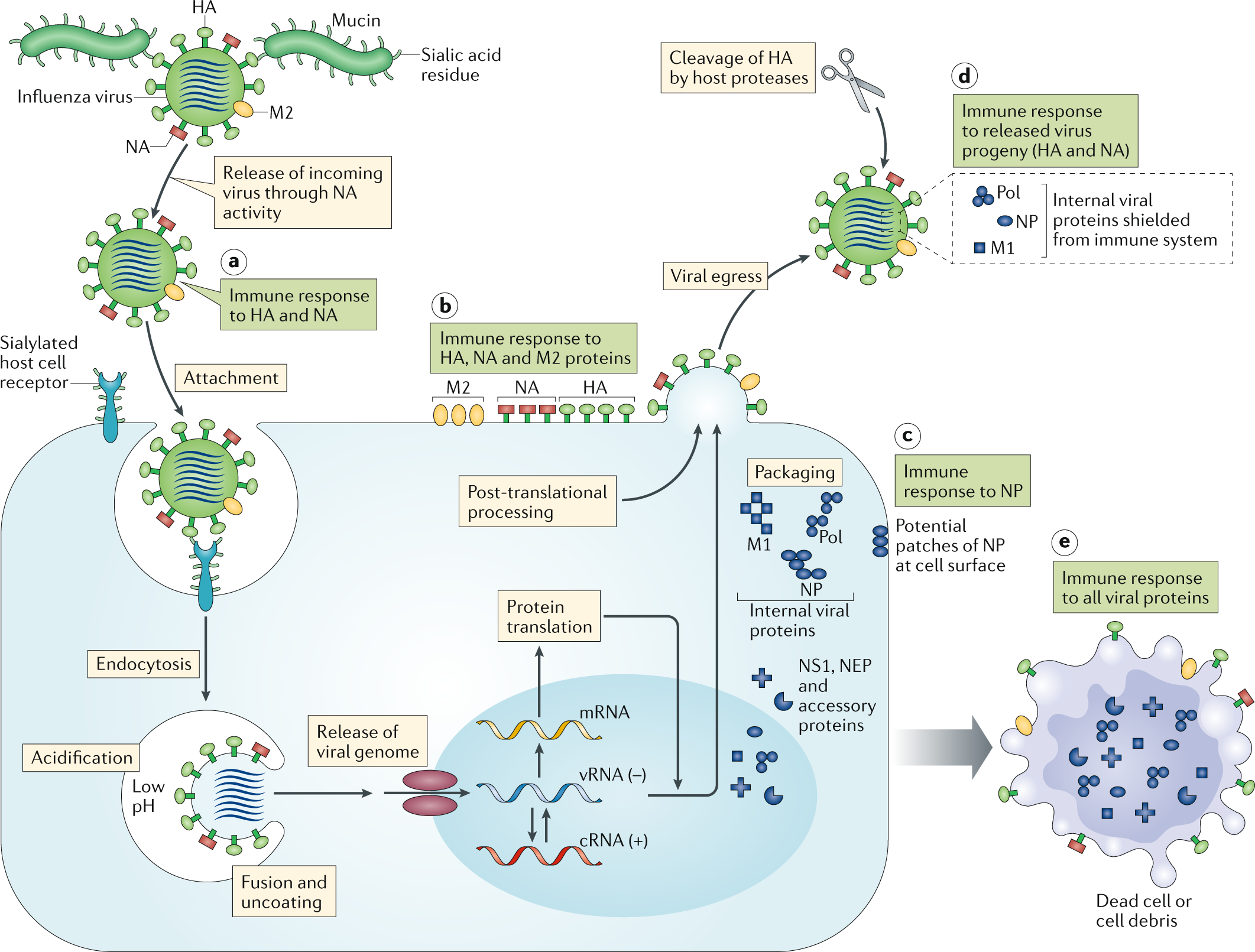 influenza a in humans