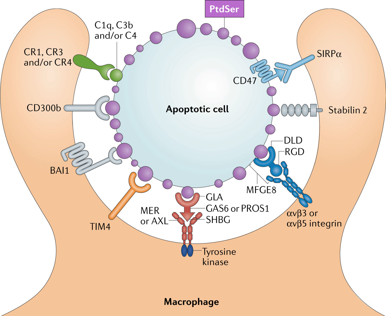 How macrophages deal with | Nature Reviews Immunology on