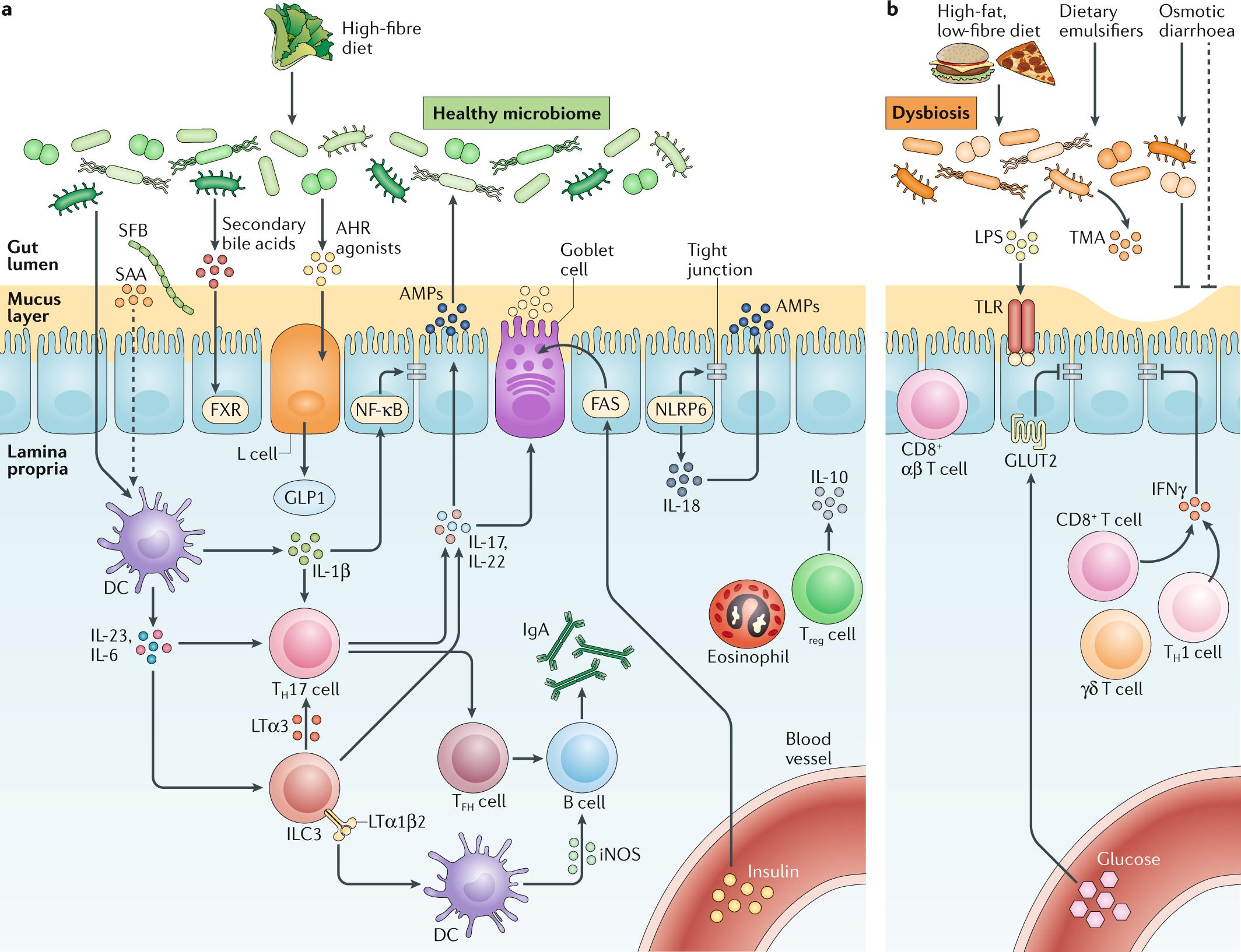 The intestinal microbiota fuelling metabolic inflammation