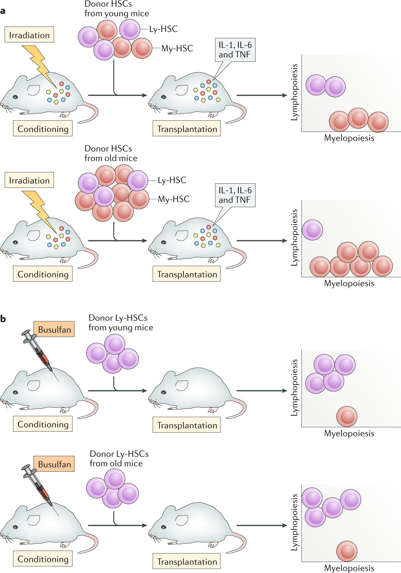 Do haematopoietic stem cells age?