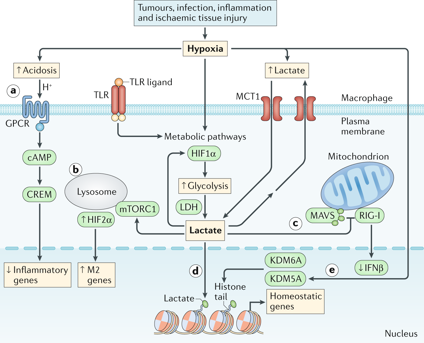 The hypoxia–lactate axis tempers inflammation