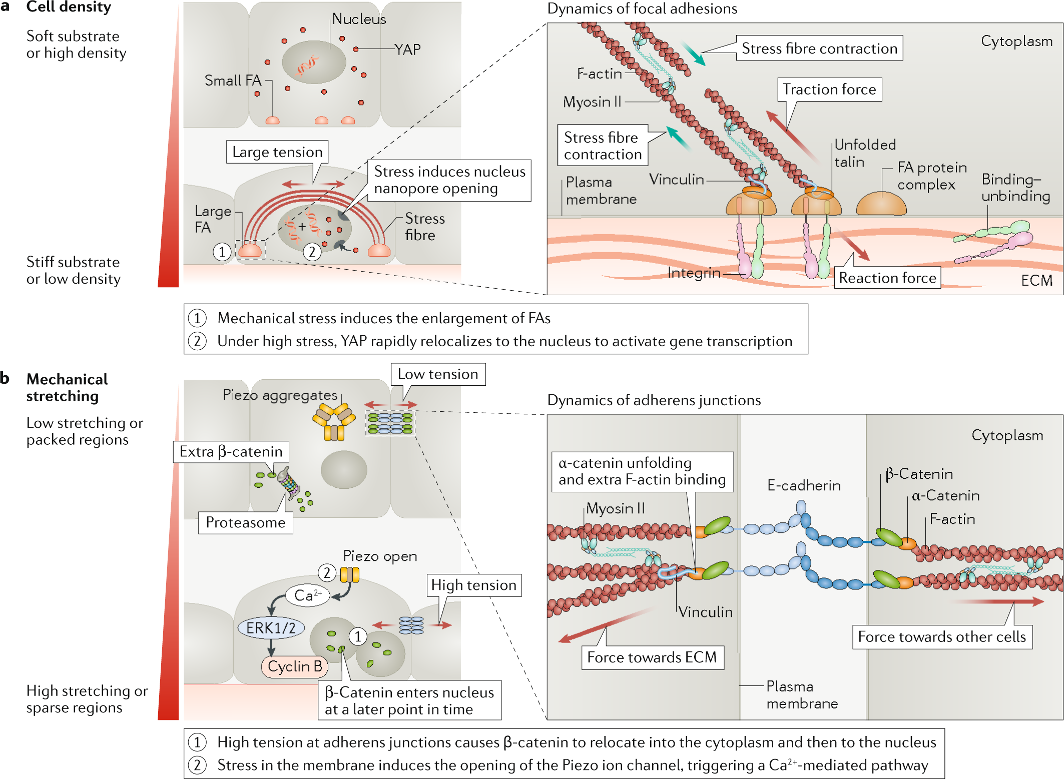 Material approaches to active tissue mechanics | Nature ... on
