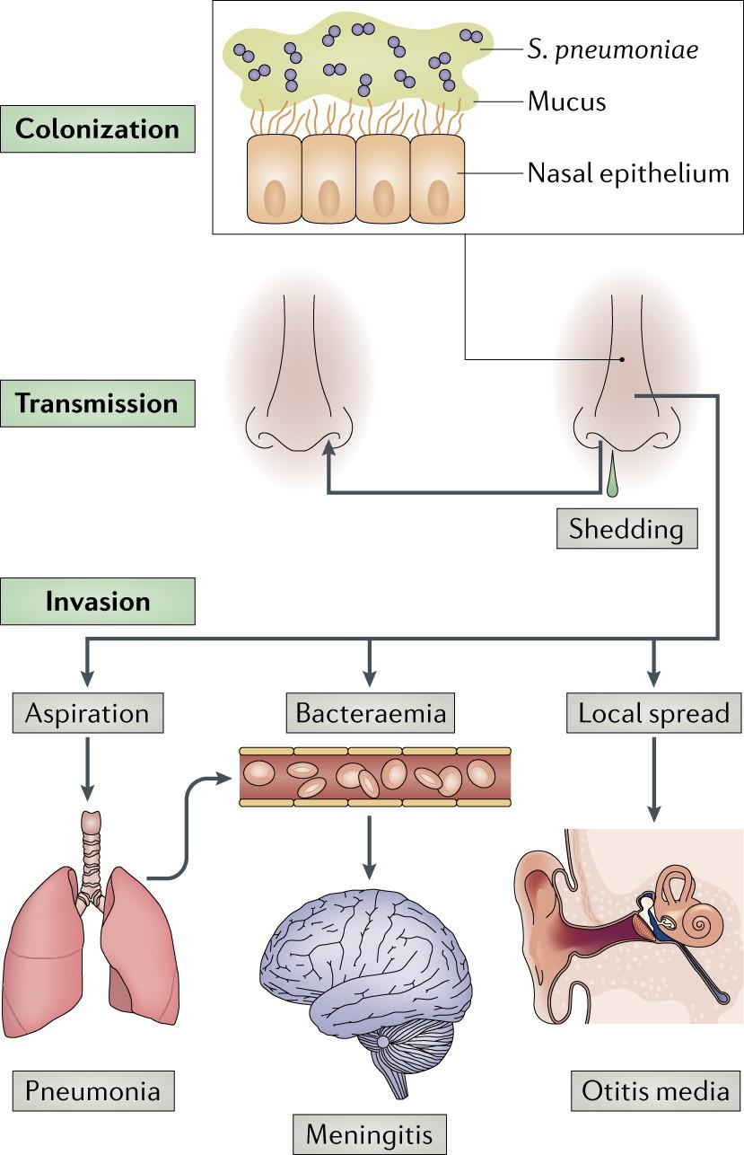 Streptococcus pneumoniae : transmission, colonization and invasion