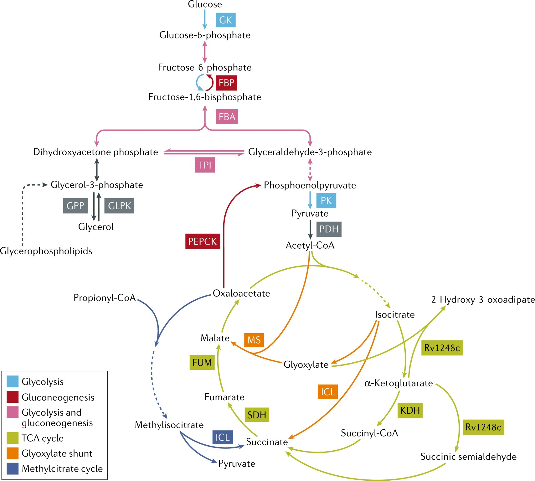 Metabolic Principles Of Persistence And Pathogenicity In Accessories Fm Gain Signal 180 Mycobacterium Tuberculosis Nature Reviews Microbiology