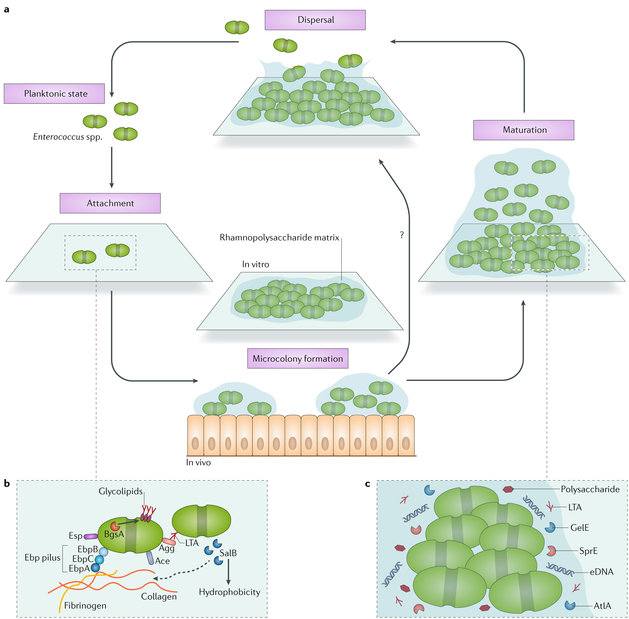 Biofilm-associated infection by enterococci | Nature Reviews