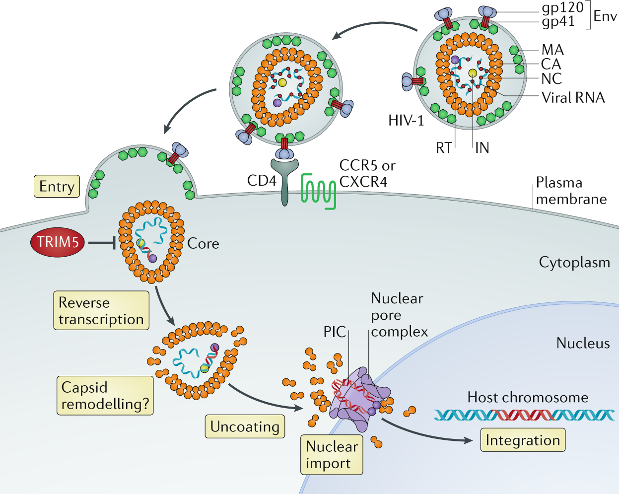 Restriction of HIV-1 and other retroviruses by TRIM5 ... on