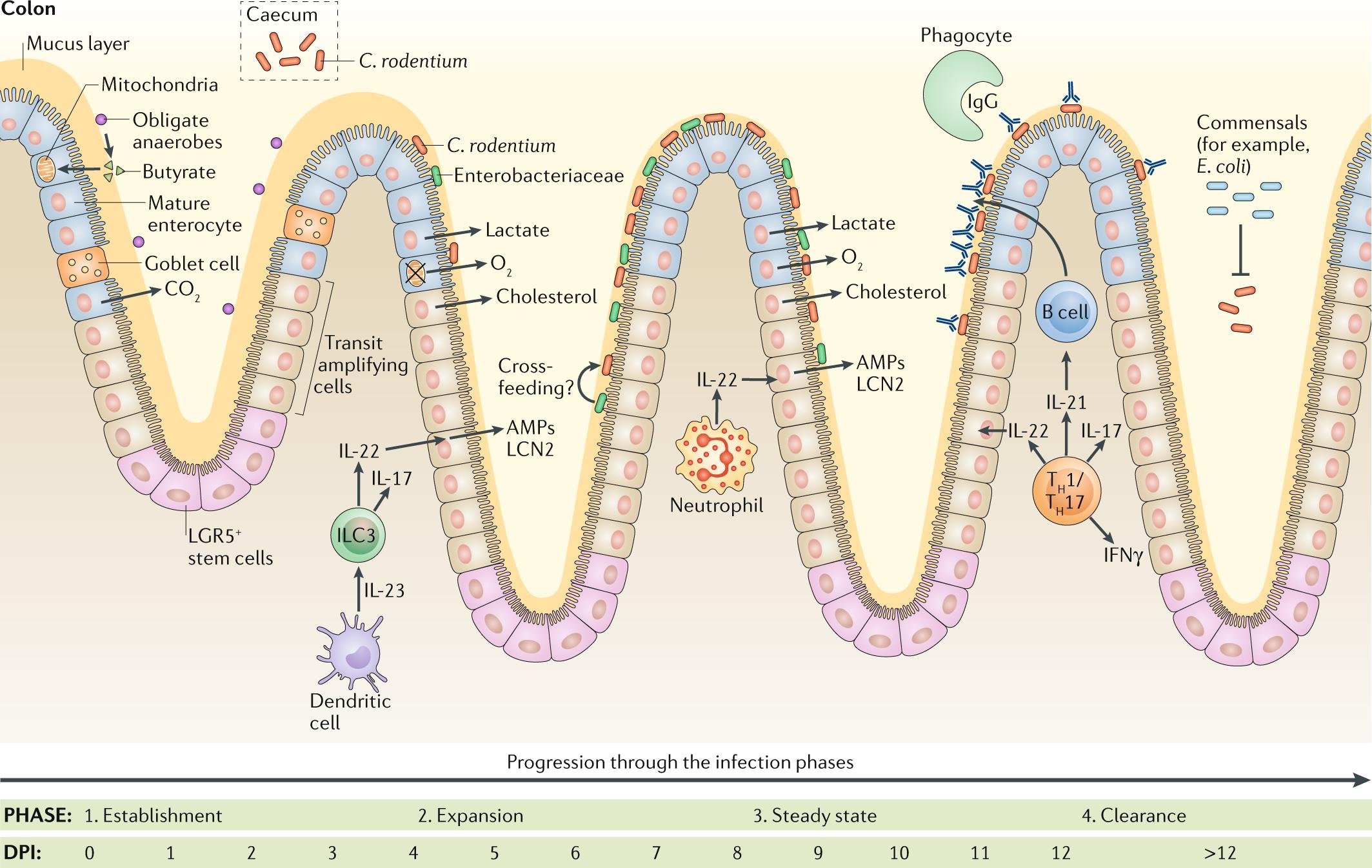 Citrobacter rodentium –host–microbiota interactions: immun