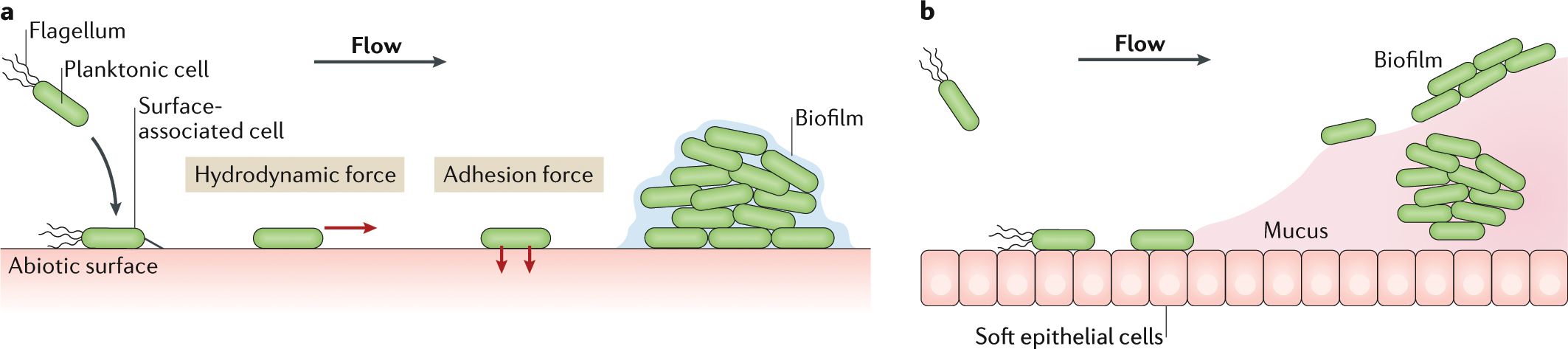 Mechanomicrobiology: how bacteria sense and respond to forces