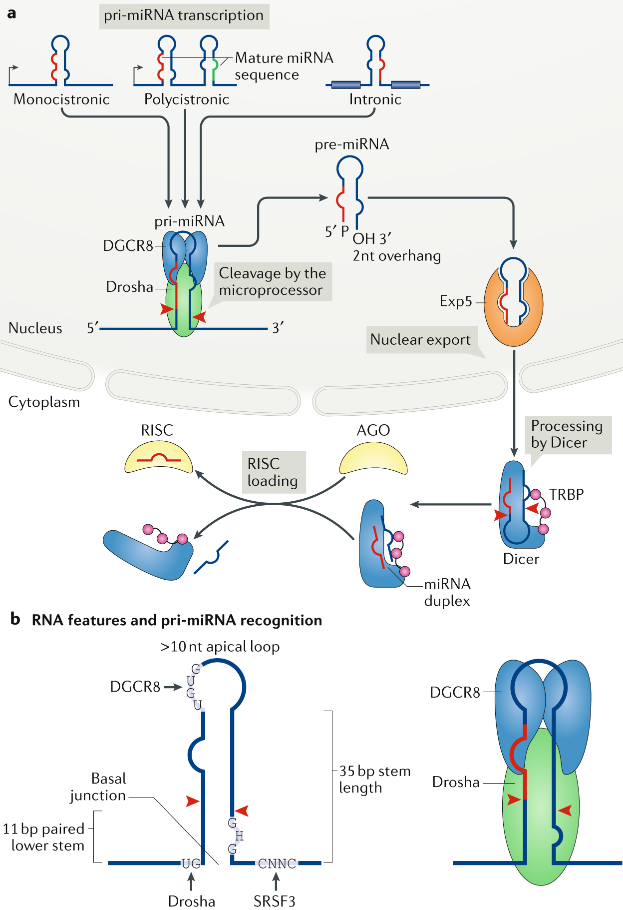 Amplitude Modulator With Ota Simple Circuit Diagram Regulation Of Microrna Biogenesis And Its Crosstalk Other Cellular Pathways Nature Reviews Molecular Cell Biology