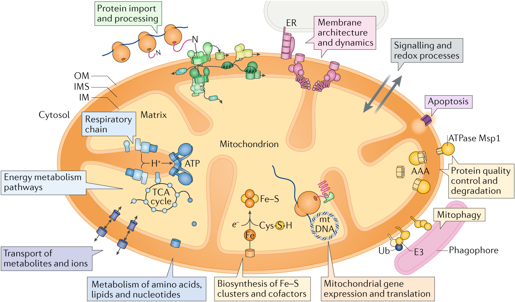 Mitochondrial Proteins From Biogenesis To Functional