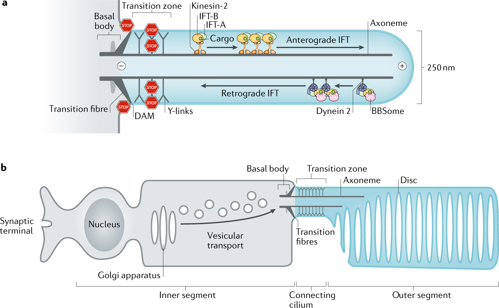 Establishing and regulating the composition of cilia for