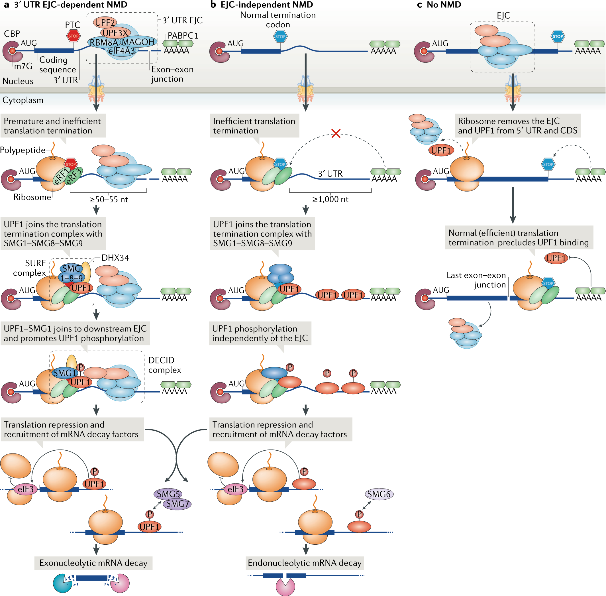 2a4521c99448d Quality and quantity control of gene expression by nonsense-mediated mRNA  decay