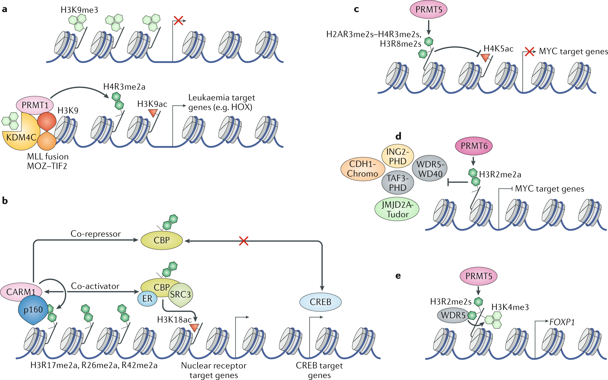 The regulation, functions and clinical relevance of arginine methylati
