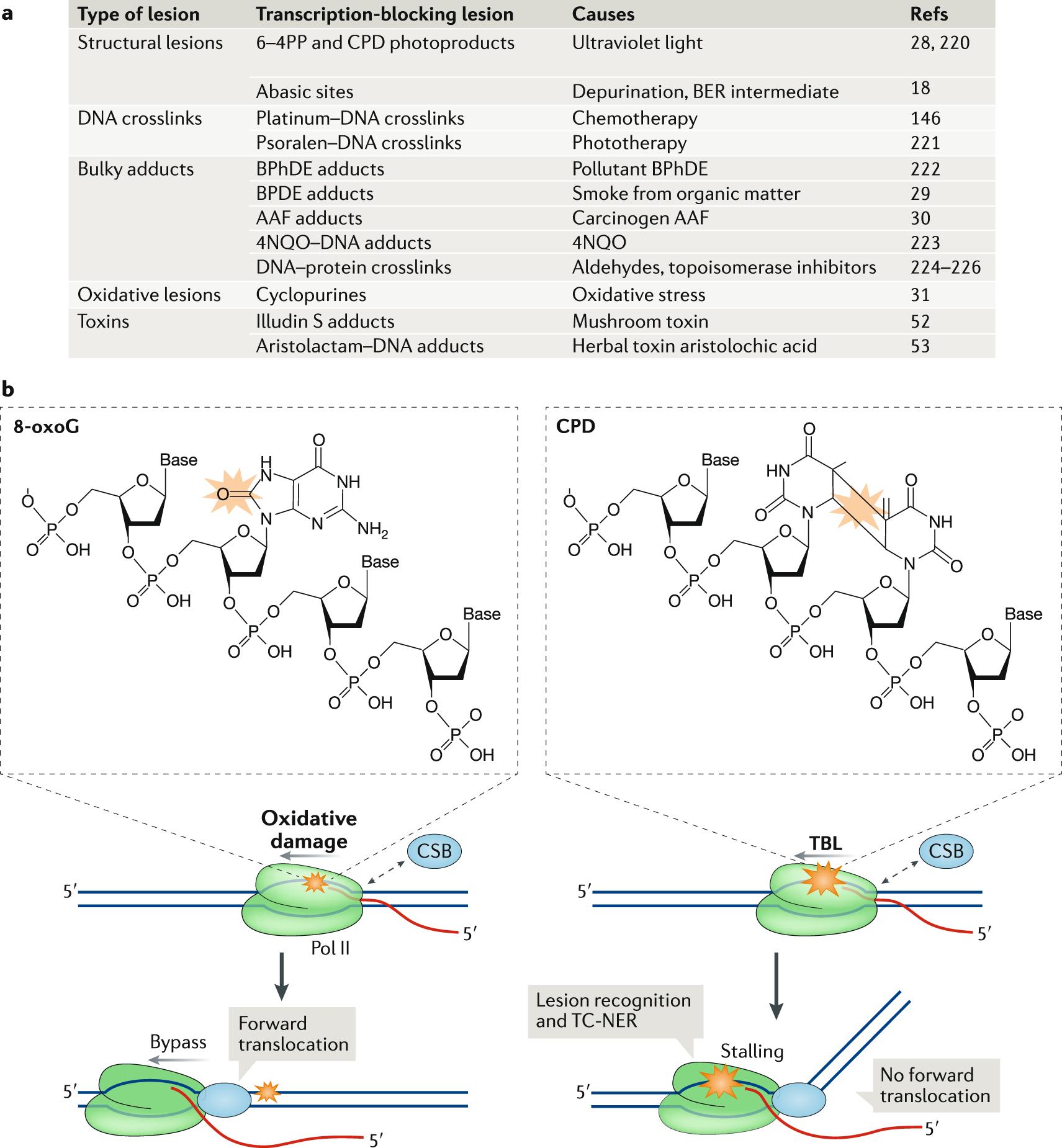 The DNA damage response to transcription stress
