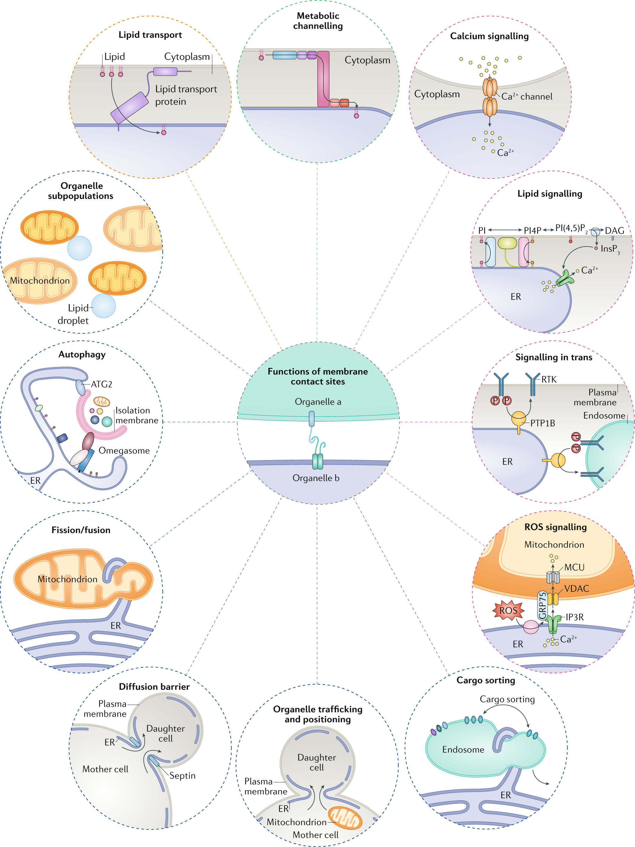 Adult Cd Universe the functional universe of membrane contact sites | nature