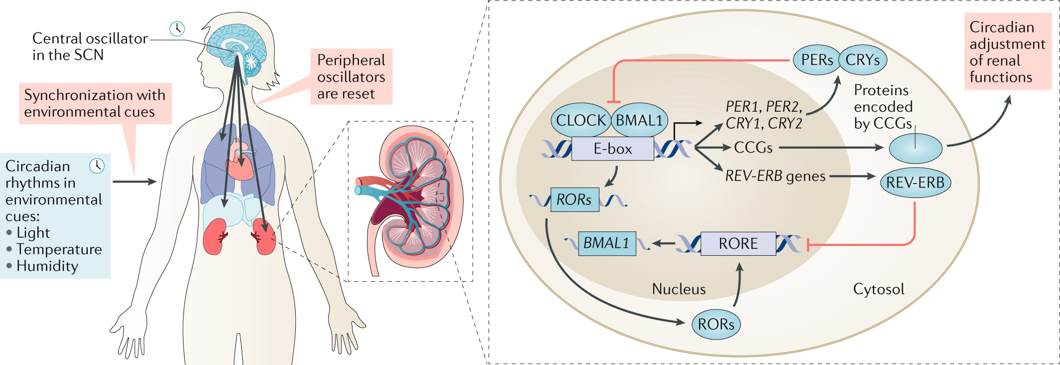 Circadian Rhythms And The Kidney Nature Reviews Nephrology
