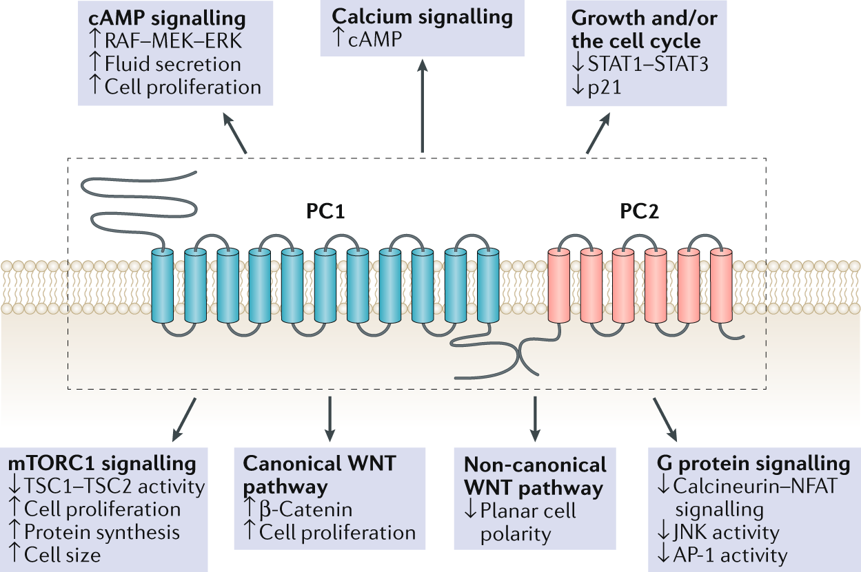 Metabolism And Mitochondria In Polycystic Kidney Disease