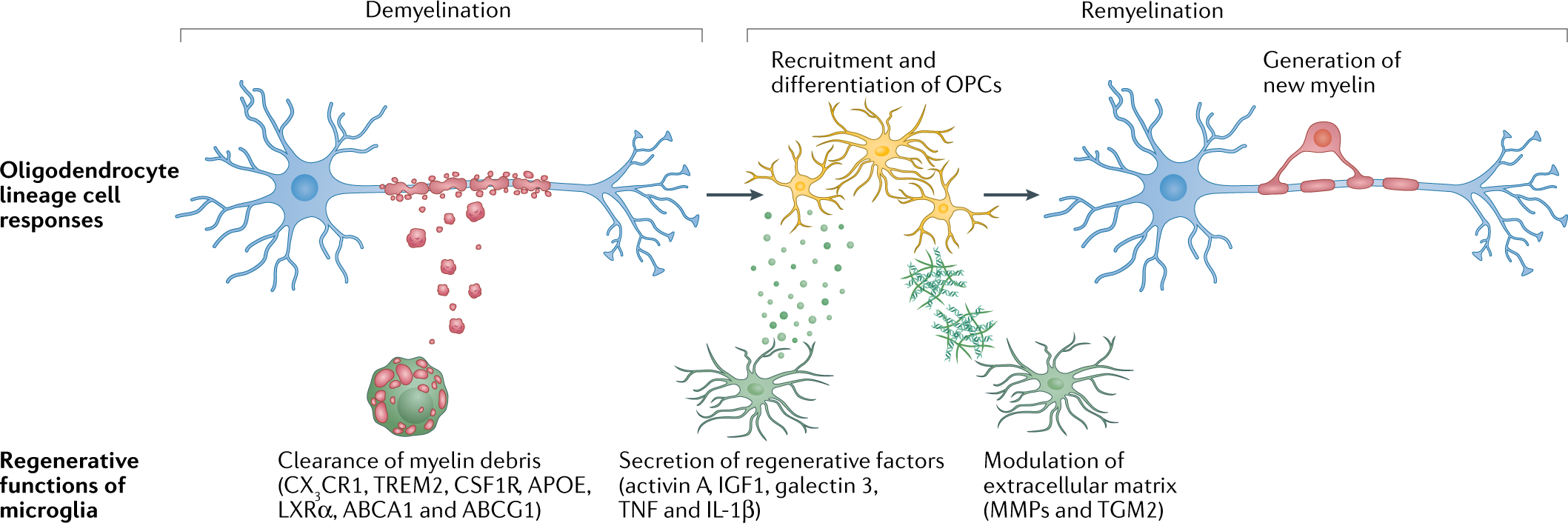The pro-remyelination properties of microglia in the central nervous s