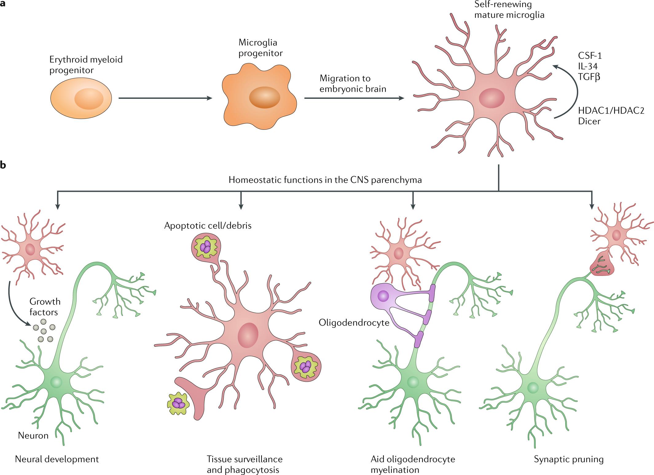 When encephalitogenic T cells collaborate with microglia in multiple s
