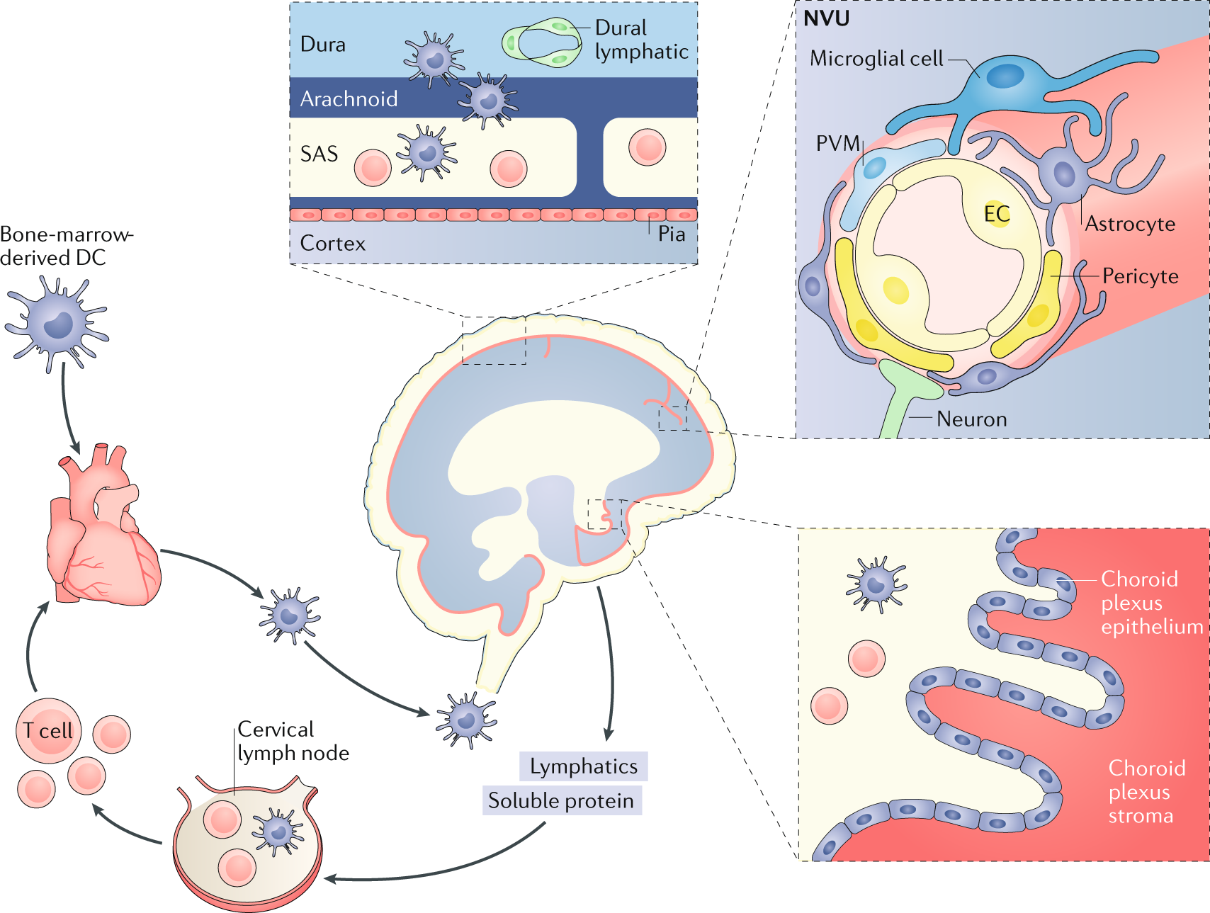 CNS infection and immune privilege | Nature Reviews Neuroscience