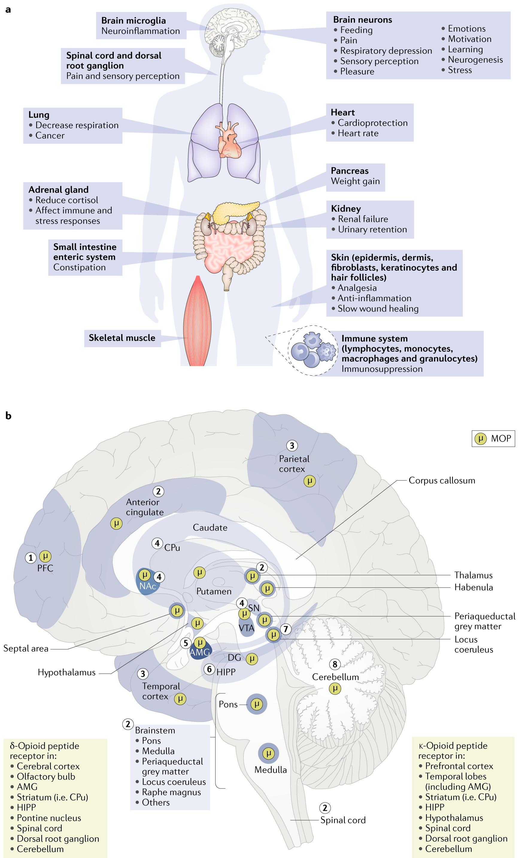 Non-nociceptive roles of opioids in the CNS: opioids