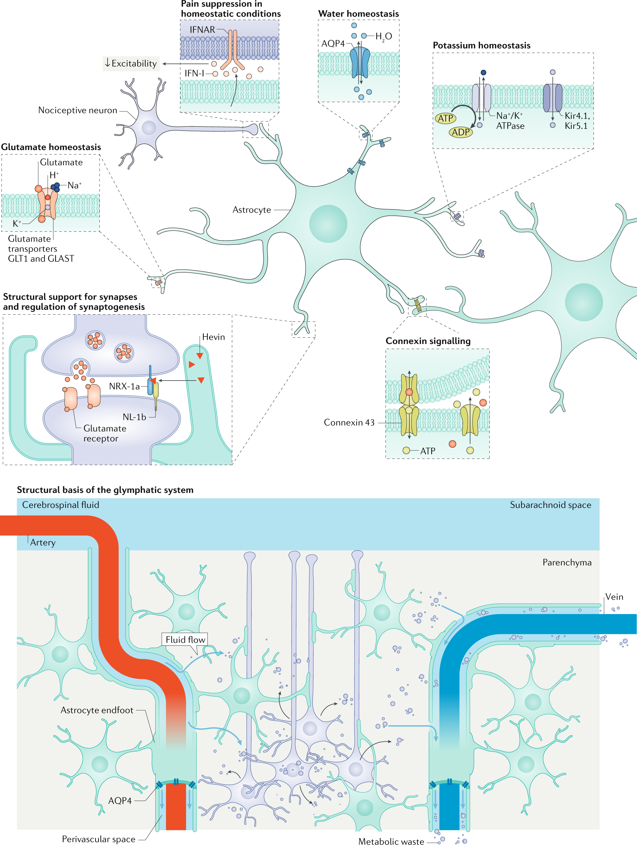 Astrocytes in chronic pain and itch