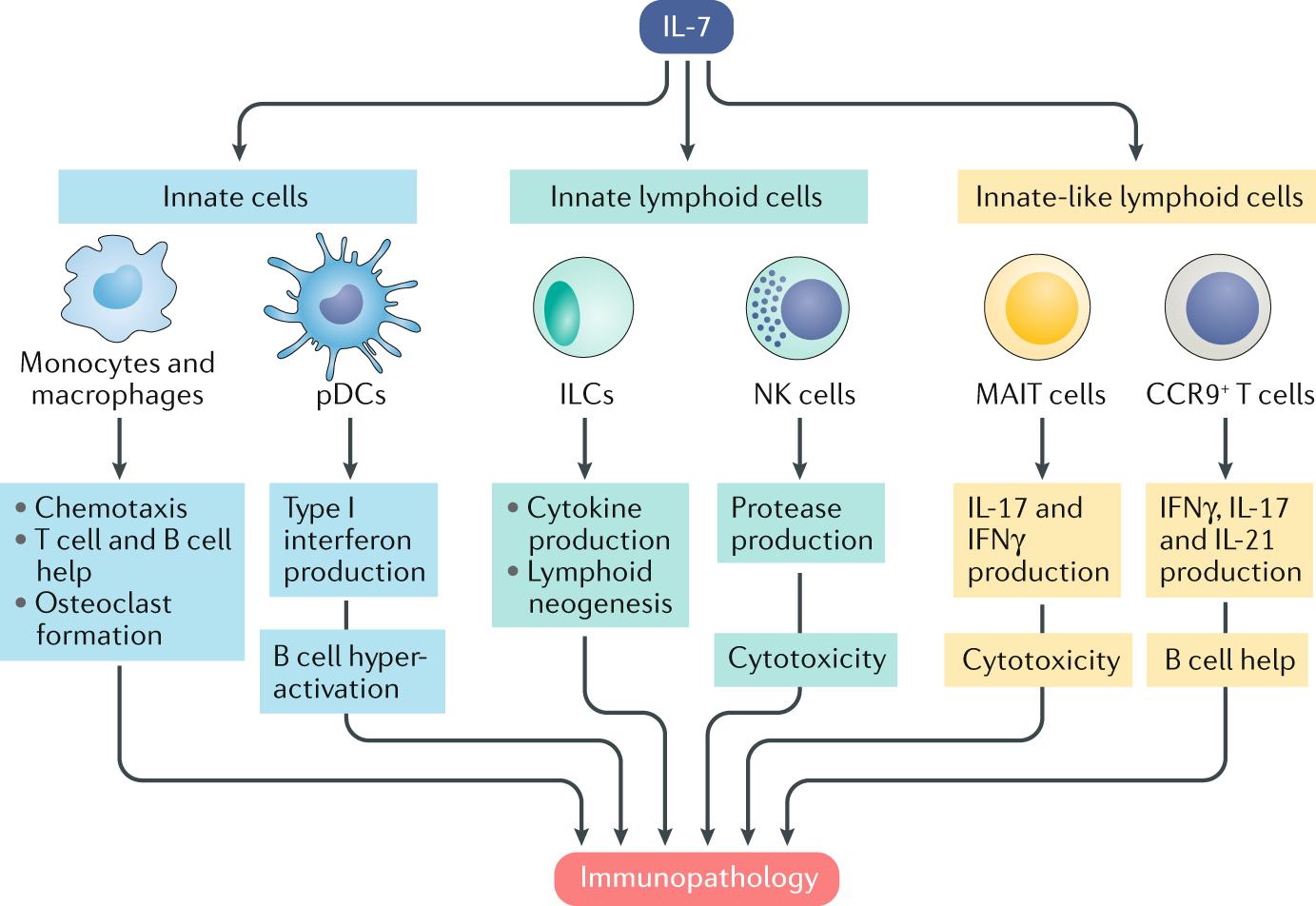 Do IL-7R + innate cells orchestrate autoimmune pathology?